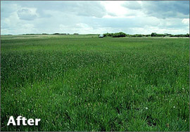 Oil & Gas Abandonment Services - Abandonment After - Healthy Grass Field - CBW Resource Consultants